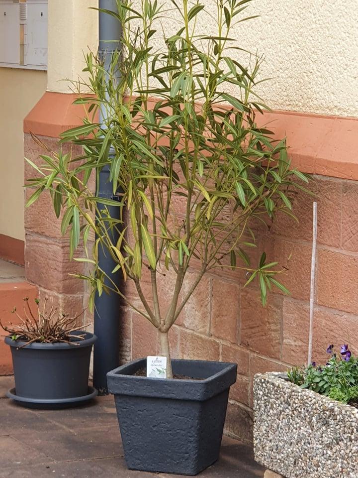 Oleander im eckigen Kunststoff-Topf vor Hauswand