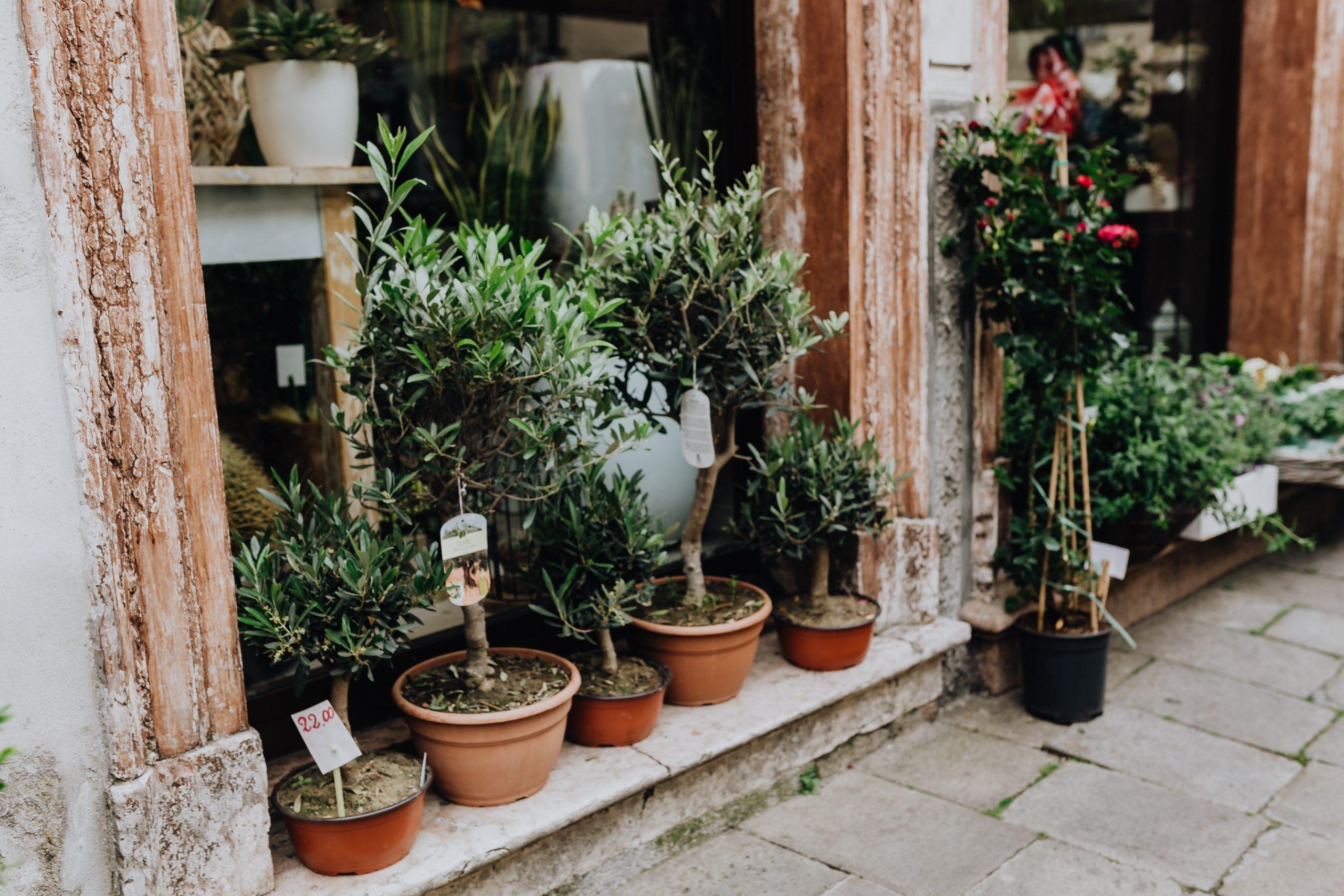 Der Olivenbaum – Pflege im Terracotta-Pflanztopf