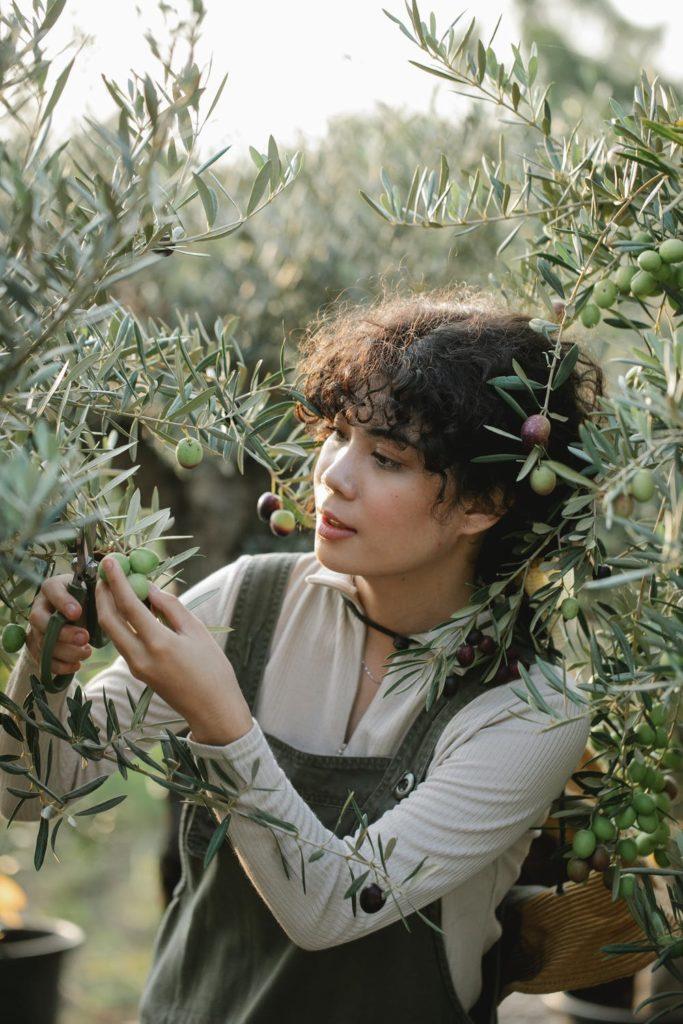 Frau erntet Oliven vom Baum