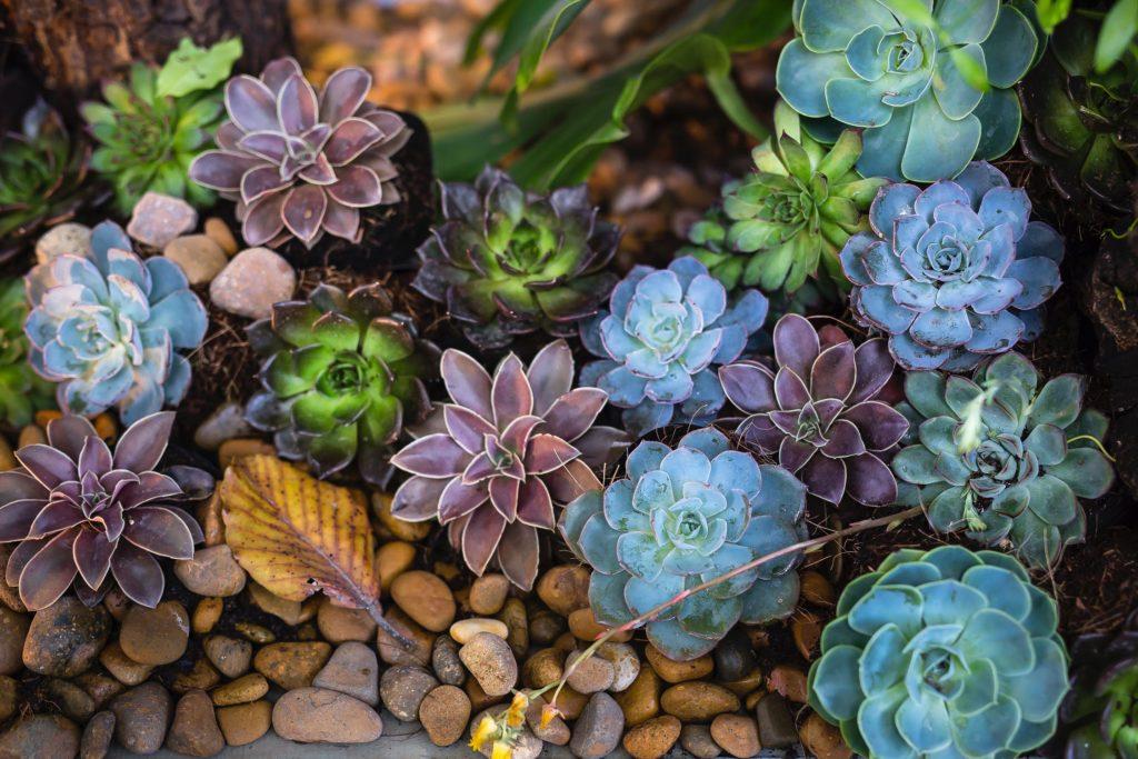 Mehrfabige Sukkulenten zusammen angepflanzt